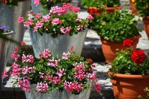 Geranium balcon jardin